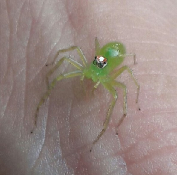 ragnetto-verde-2 Jumping Spiders