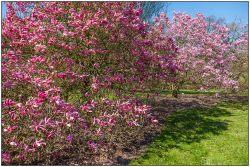 magnolia-2669