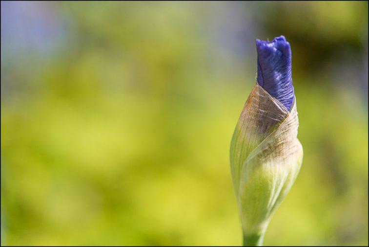 paarse lis-7466