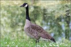 Canadese gans - Canada goose
