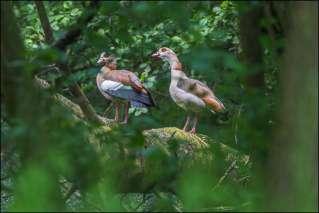nijlganzen - nile goose