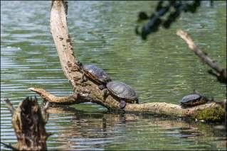 schildpadden - tortoise