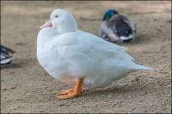witte kwaker - white duck