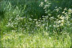 fluitenkruid - cow parsley
