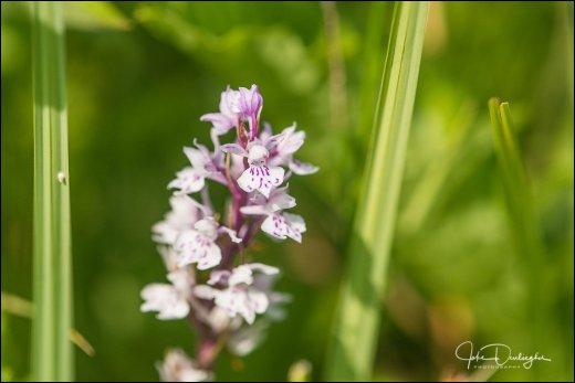 wilde orchidee 05