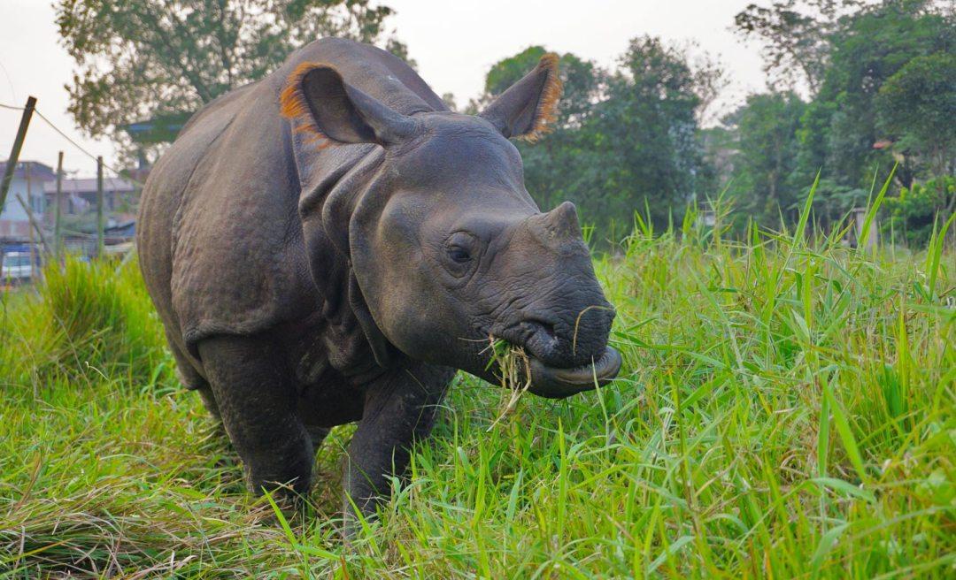 Neushoorn-Chitwan-National-Park-Nepal