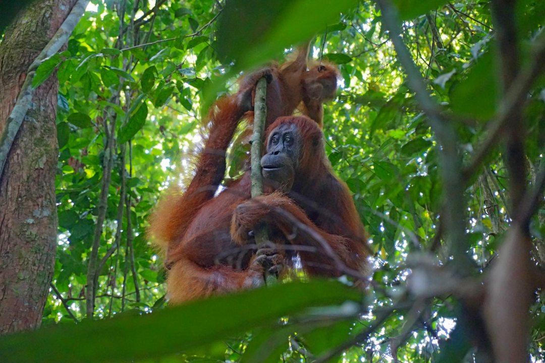 Orang-oetan-Sumatra-Bukit-Lawang