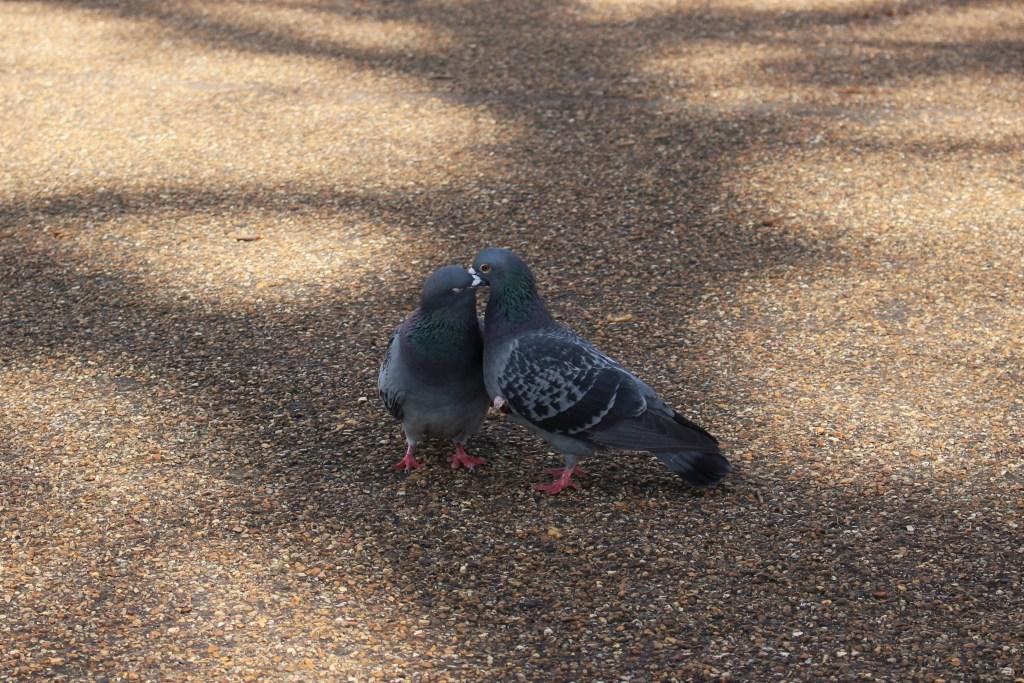 Pigeons de Londres