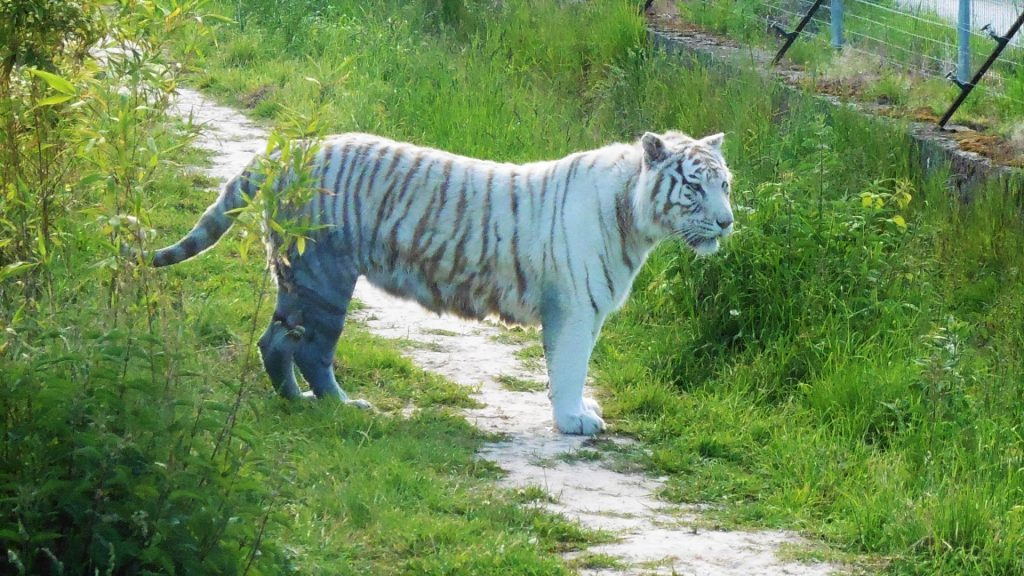 tigre blanc, Parc des Félins