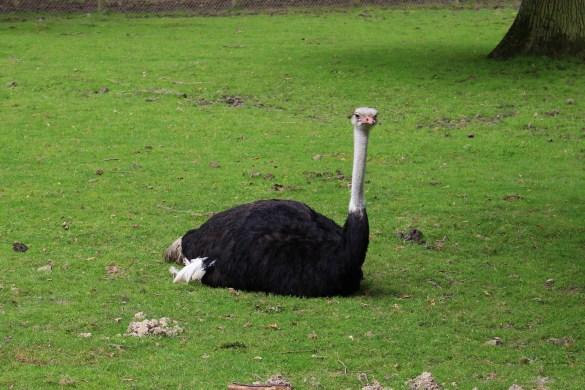 zoo thoiry autruche