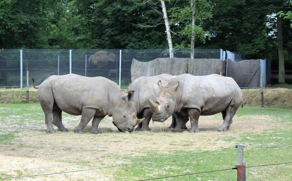 zoo thoiry rhinocéros