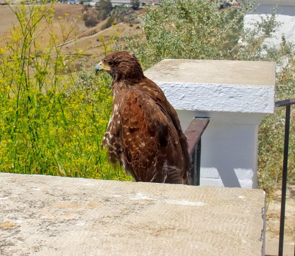 faucon aigle