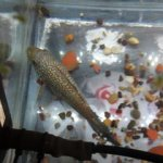 My Jack Dempsy Fish