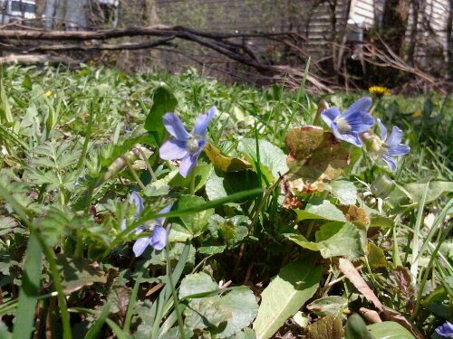 Unrelated photo. I just love I have Violets growing in my backyard