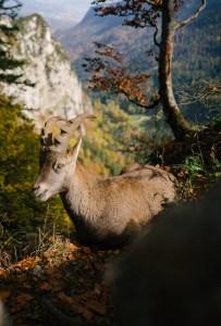 a ram on a mountainside