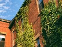 Green Ivy on Brick in Saint John Photograph