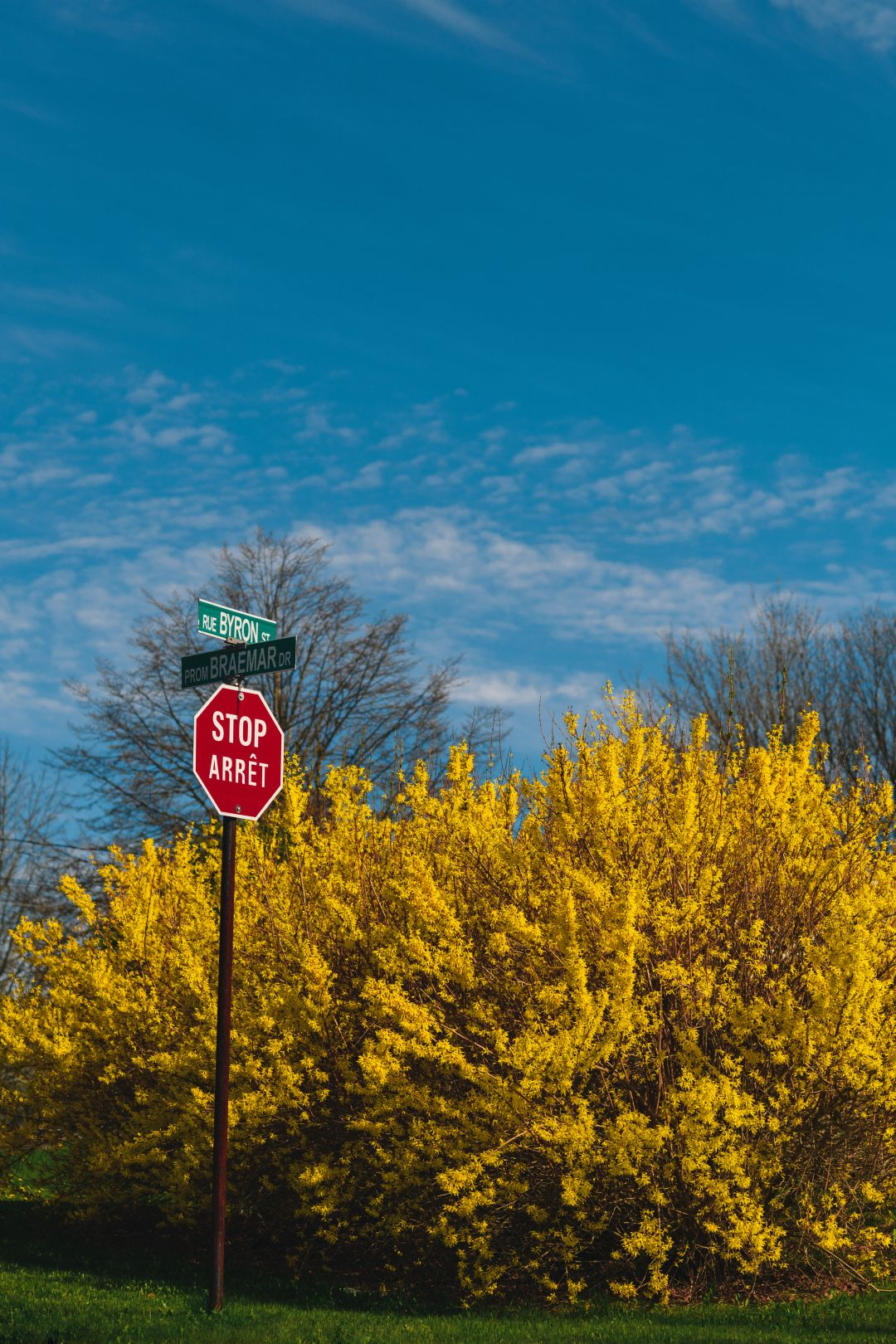 A photo of Forsythia Behind A Stop Sign on the East Side Saint John NB 1