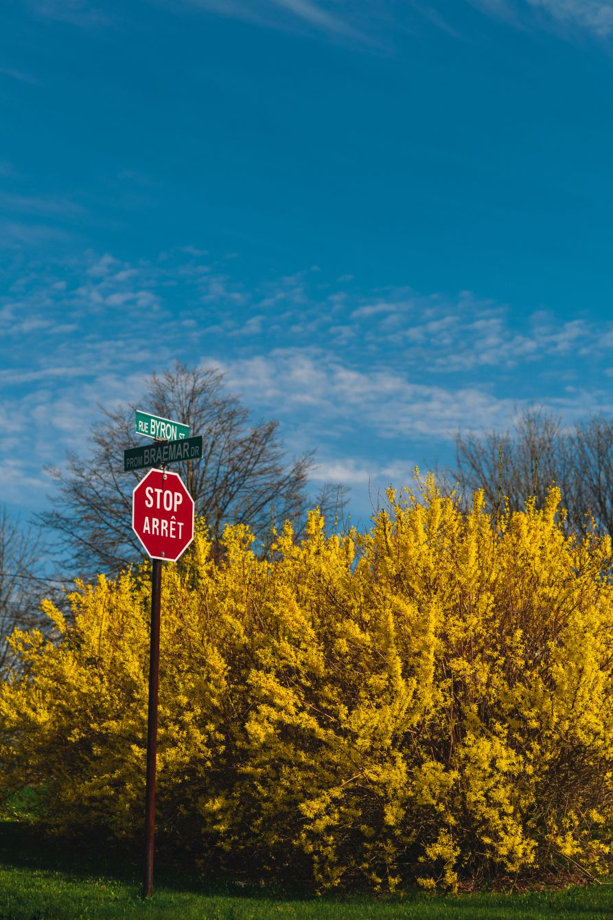 Click thumbnail to see details about photo - Forsythia Behind A Stop Sign on the East Side Saint John NB
