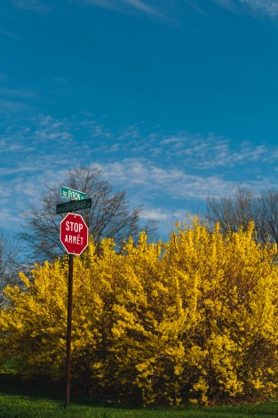 Forsythia Behind A Stop Sign on the East Side Saint John NB