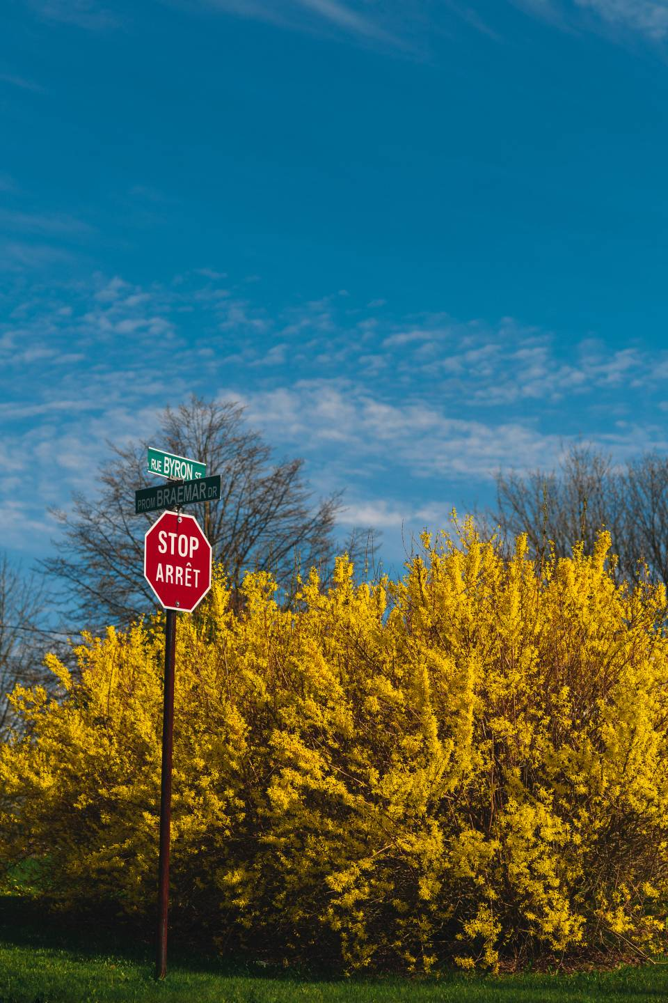 A photo of Forsythia Behind A Stop Sign on the East Side Saint John NB