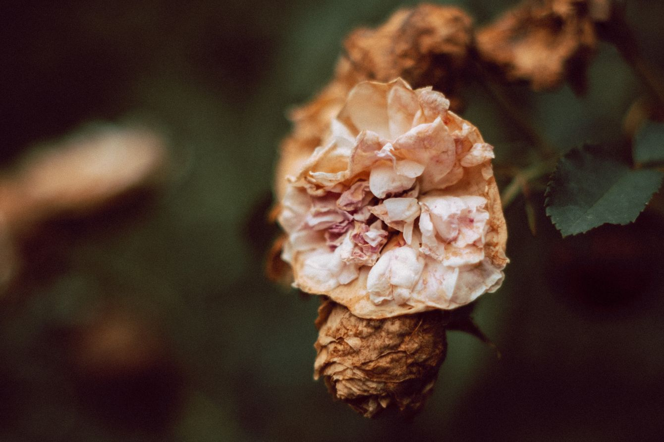 Click thumbnail to see details about photo - Dying Rose Plant