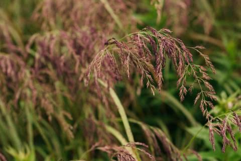A photo of Long Purple Grass