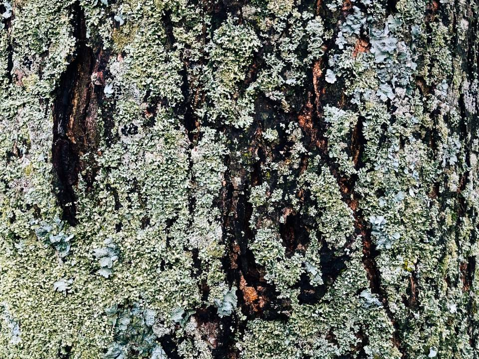 A photo of trextured moss on tree