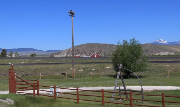 Ospreys near Dillon, MT