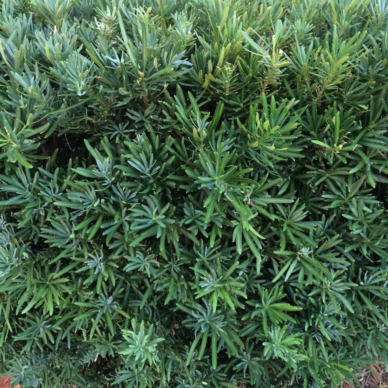 Pringles Podocarpus