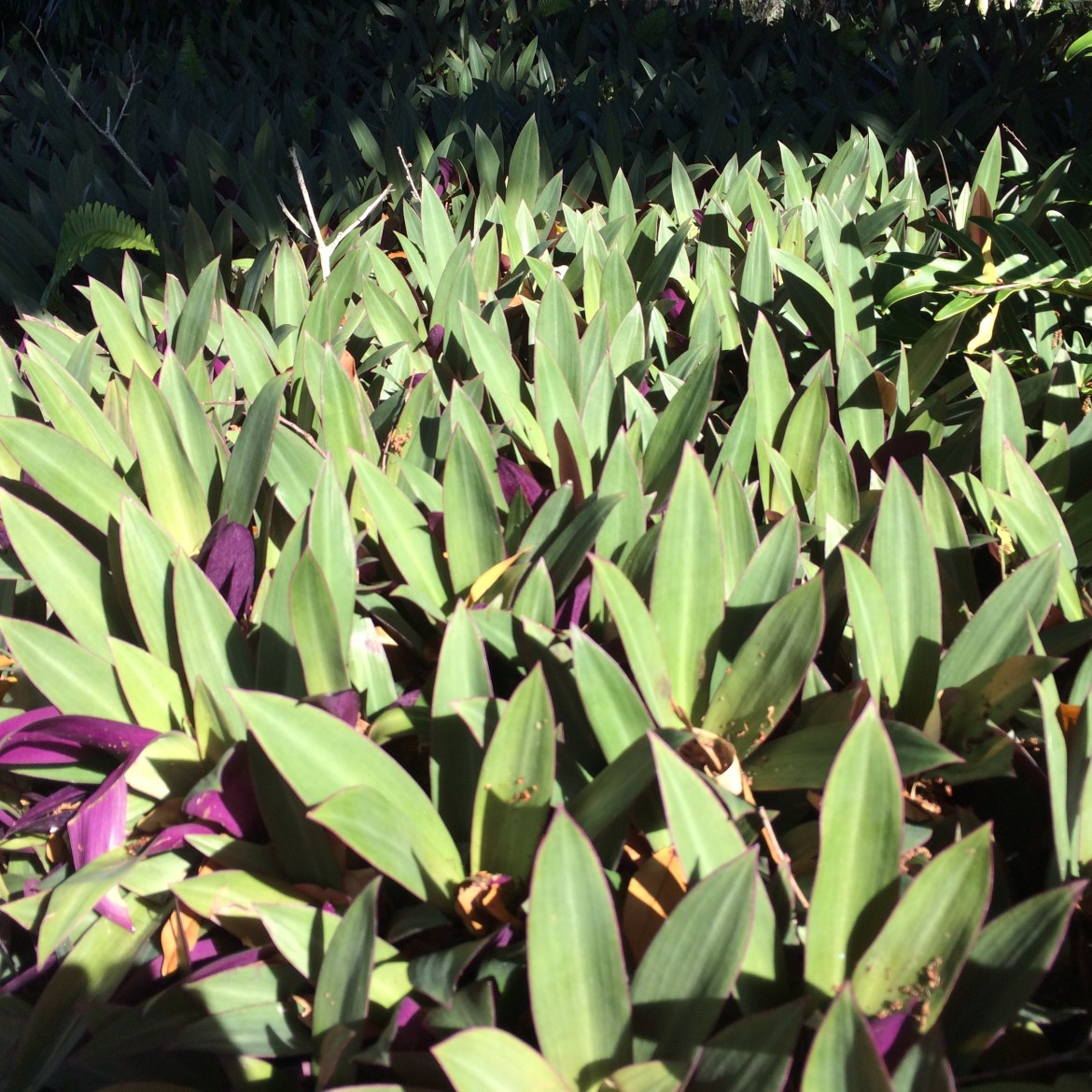 oyster plant (2)