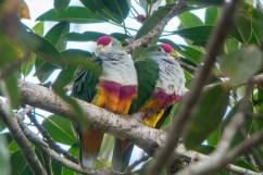 Beautiful Fruit Doves