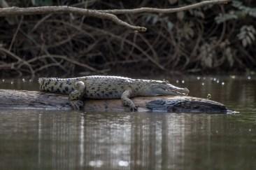Papuan Crocodile