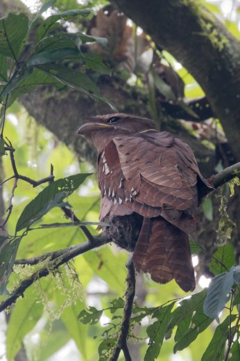 Large Frogmouth on a nest