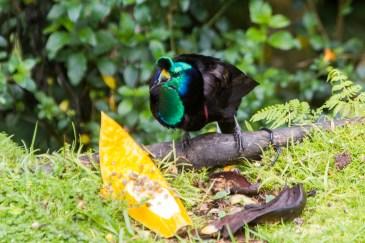135 Ribbon-tailed Astrapia
