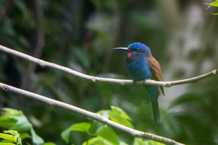 Blue-moustached Bee-eater