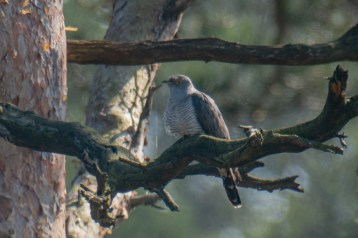A first Cuckoo for the year