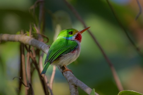 Cuban Tody. Hope you like it, there will be many more.