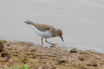 This Temminck's Stint showed incredibly well