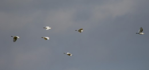 Cattle Egrets, with one little Egret mixed in