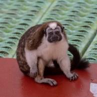Geoffroy's Tamarin, hoping to cadge a banana