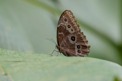 Blue Morpho, closed as usual.