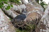 A couple of miles walking after the boat and we finally get to our target. A female Harpy Eagle on a nest.