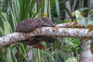 Golden-green Woodpeckers, male below, female above.