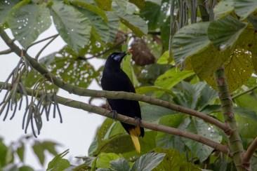 Black Oropendola
