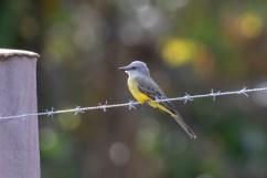 Tropical Kingbird, an ever-present bird.