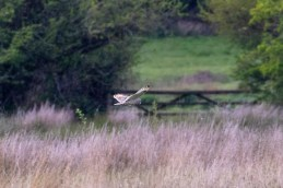 A distant Short-eared Owl gets our hopes up