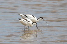 Avocets on Beacon Ponds at Spurn