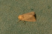 Obscure Wainscot, a new moth for home