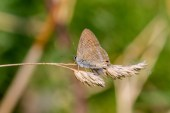 A long-tailed Blue (actually with tails)
