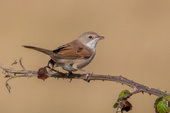 Common Whitethroat from last week's visit to Farlington
